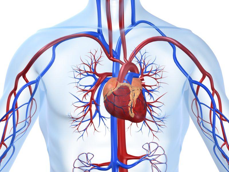 Влияет на сердечно-сосудистую систему